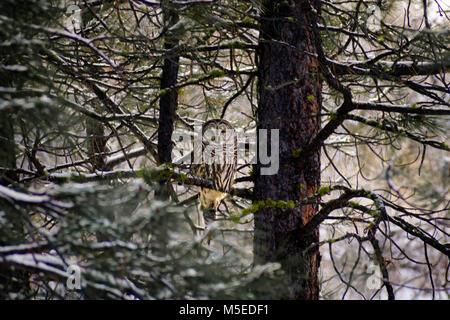 owl - Stock Image