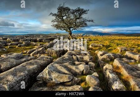 Lone Tree on Winskill Stones - Stock Image