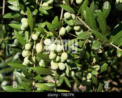 Olives on tree. Jaén, Andalusia, Spain. - Stock Image