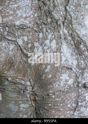 Close-up of autumnal bark of a Beech / Fagus sylvatica tree trunk. - Stock Image