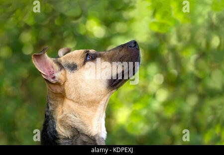 Curious dog looking up is an eager curious excited dog looking up in anticipation of something. - Stock Image