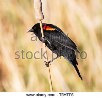 Red-winged Blackbird, Agelaius phoeniceus, male, perched on dry stem in Arizona USA - Stock Image