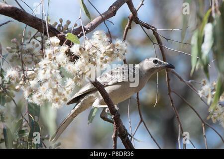 Great Bowerbird (Chlamydera nuchalis) perched in a tree near white flowers, Cape York Peninsula, Far North Queensland, FNQ, Australia - Stock Image