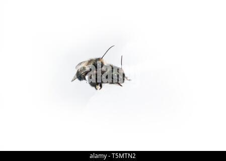 Mason bees (Osmia lignaria) mating - side view on a white background - Stock Image