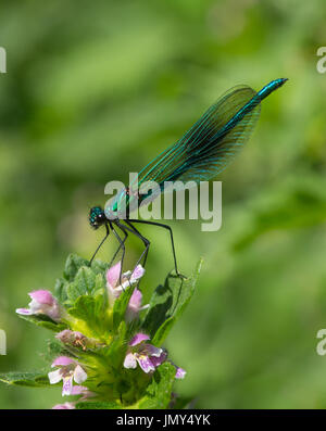 close up macro shot of male banded demoiselle damselfly on a flower in Scotland - Stock Image