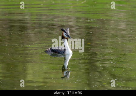 Great Crested Grebe (Podiceps cristatus) wild bird with reflection on still lake water - Stock Image