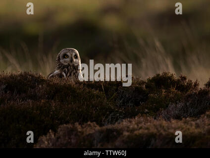 A wild Short Eared Owl (Asio Flammeus) on moorland, North Uist, Outer Hebrides, Scotland - Stock Image