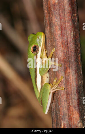 Portrait of an American green tree frog. - Stock Image