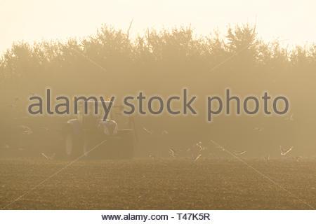 Farmer ploughing on foggy morning near Pitsea, England - Stock Image