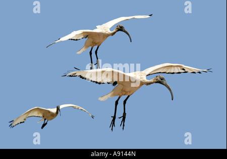 Three Flying Sacred Ibis, Threskiornis aethiopicus, Threskiornithidae - Stock Image