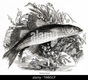 Grey Mullet, of the Mugilidae family.      Date: 1842 - Stock Image