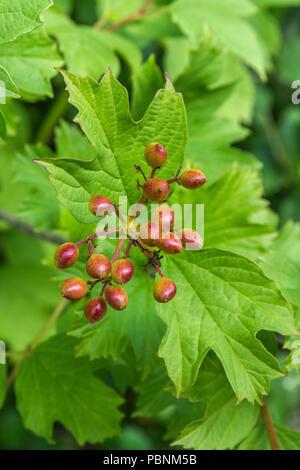 Foliage and berries of Guelder Rose [Viburnum opulus]. - Stock Image