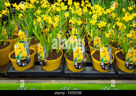Spring potted plants Narcissus Tete a Tete for sale in a garden centre in spring, reading for planting. - Stock Image