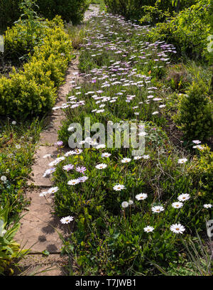 A garden border in England UK with pink and white Cape Daisy (Osteospermum) flowers. - Stock Image