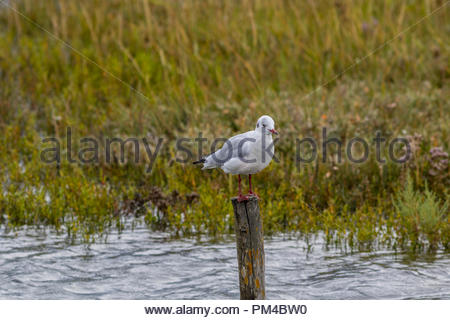 An adult black-headed gull in winter plumage resting on a post in Keyhaven Marshes, Hampshire, UK - Stock Image