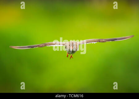 Beautiful common redshank tringa totanus bird flying.  These Eurasian wader birds are common breeders in the agraric grassland of the Netherlands. - Stock Image