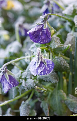 Viola 'Panola Marina' flowers. Pansy flowers after a heavy frost. - Stock Image