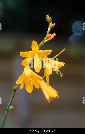 Small, yellow, lily like flowers of the hardy, late summer blooming montbretia, Crocosmia x crocosmiiflora 'George Davison - Stock Image