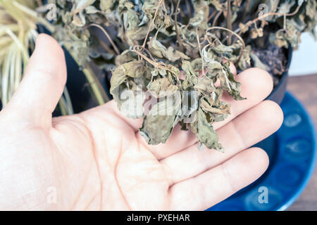 Male Hand Holding The Leaves Of A Dried Out Basil Pot - Stock Image