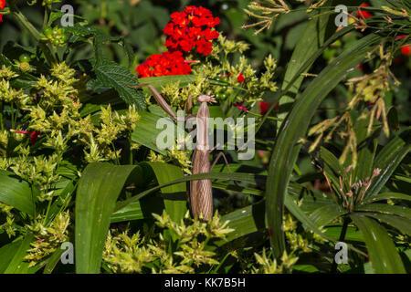 1, one, praying mantis, praying mantid, Novato, Marin County, California - Stock Image