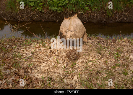 damaged and gnawed tree caused by beaver also called castoridae in bavaria, tree felled by a beaver - Stock Image