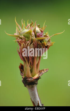 Bud in Spring - Stock Image
