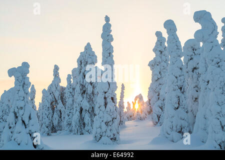 Sunset, & snow covered trees, Riisitunturi National Park, Lapland, Finland - Stock Image