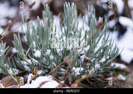 Rosemary in snow - Stock Image