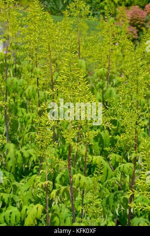 Sinacalia Tangutica or Chinese ragwort unusual garden plant - Stock Image