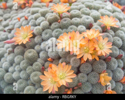 Rebutia heliosa a cactus originating in Bolivia, photo from the Botanical garden in Oslo Norway - Stock Image