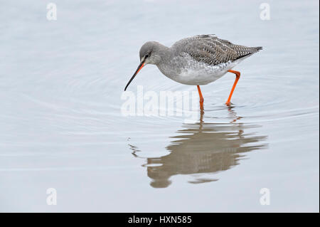 Spotted redshank (Tringa erythropus) adult in winter plumage. Norfolk. February. - Stock Image