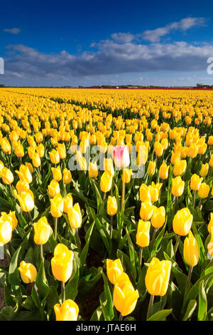 Blue sky and clouds in the fields of yellows tulips in bloom, Oude-Tonge, Goeree-Overflakkee, South Holland, The Netherlands - Stock Image