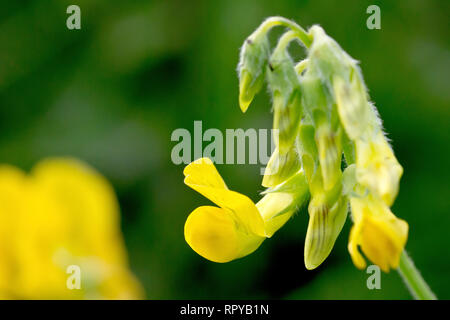Meadow Vetchling (lathyrus pratensis), close up of a solitary flower head just beginning to flower. - Stock Image