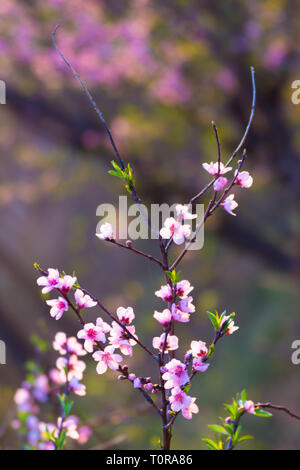 Close up branch of cheery blossom - Stock Image