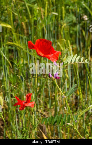 Wild red poppies growing in a fallow field in north east Italy. - Stock Image