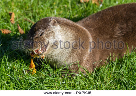 Eurasian (European) otter feeding on chicken at the British Wildlife Centre, Surrey, UK - Stock Image