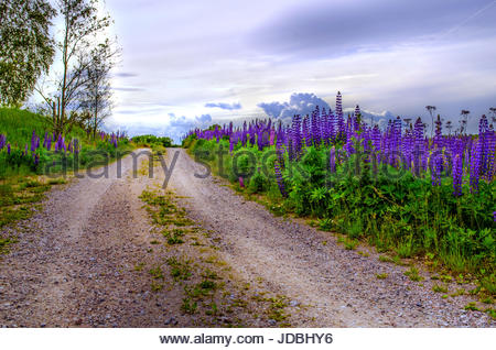 Midsummers dream in Sweden, romantic road, with Lupine flowers. - Stock Image