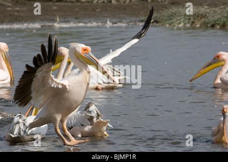 Great White Pelican (Pelecanus onocrotalus ) landing at lake Nakuru (Kenya). - Stock Image