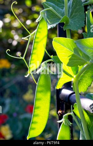 Young peas growing in a garden, East Sussex, UK - Stock Image