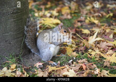 Squirrel enjoying a nut in Bournemouth gardens,UK. - Stock Image