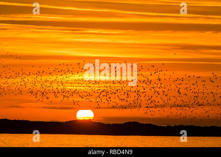 Aberystwyth Wales, UK. 09th Jan, 2019. UK Weather: As the sun sets on a clear cold evening, after a day of unbroken winter sunshine, flocks of tens of thousands of tiny starlings fly in huge 'murmurations' in the sky above Aberystwyth as they return from their daily feeding grounds to roost for the night on the forest of cast iron legs underneath the town's Victorian seaside pier. Aberystwyth is one of the few urban roosts in the country and draws people from all over the UK to witness the spectacular nightly displays. photo Credit: keith morris/Alamy Live News - Stock Image