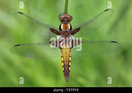 Female Broad Bodied Chaser dragonfly (Libellula depressa) at RSPB Ynys Hir Reserve, Wales - Stock Image