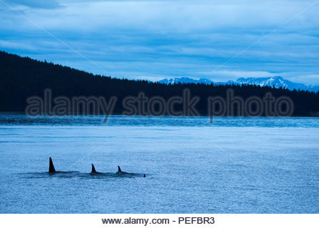 Killer whales or Orcas in Icy Straight at dusk. - Stock Image