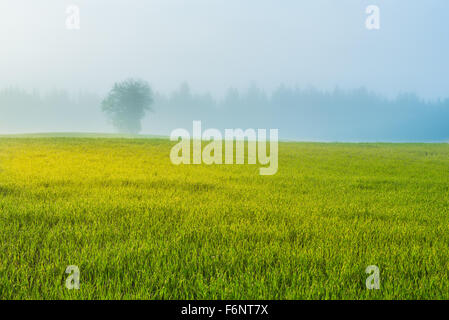 Misty field and single tree in countryside at the dawn - Stock Image