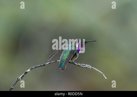 Male Costa's Hummingbird (Calypte costae) perched a branch, ready for flight. Tucson - Stock Image