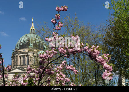Cherry Blossom, Berlin dome, Cathedral, - Stock Image