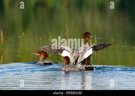 A family of four common merganser, or goosander ducks on a wilderness lake in the Adirondack Mountains, NY USA - Stock Image