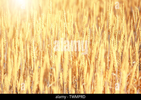 Bright golden rye field with selective focus on the ears - Stock Image