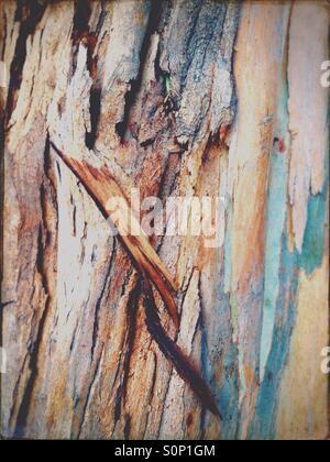 Bark on a eucalyptus tree in Australia - Stock Image