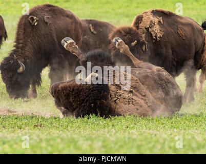 Bison Wallows in Dry Dirt Patch in Field - Stock Image